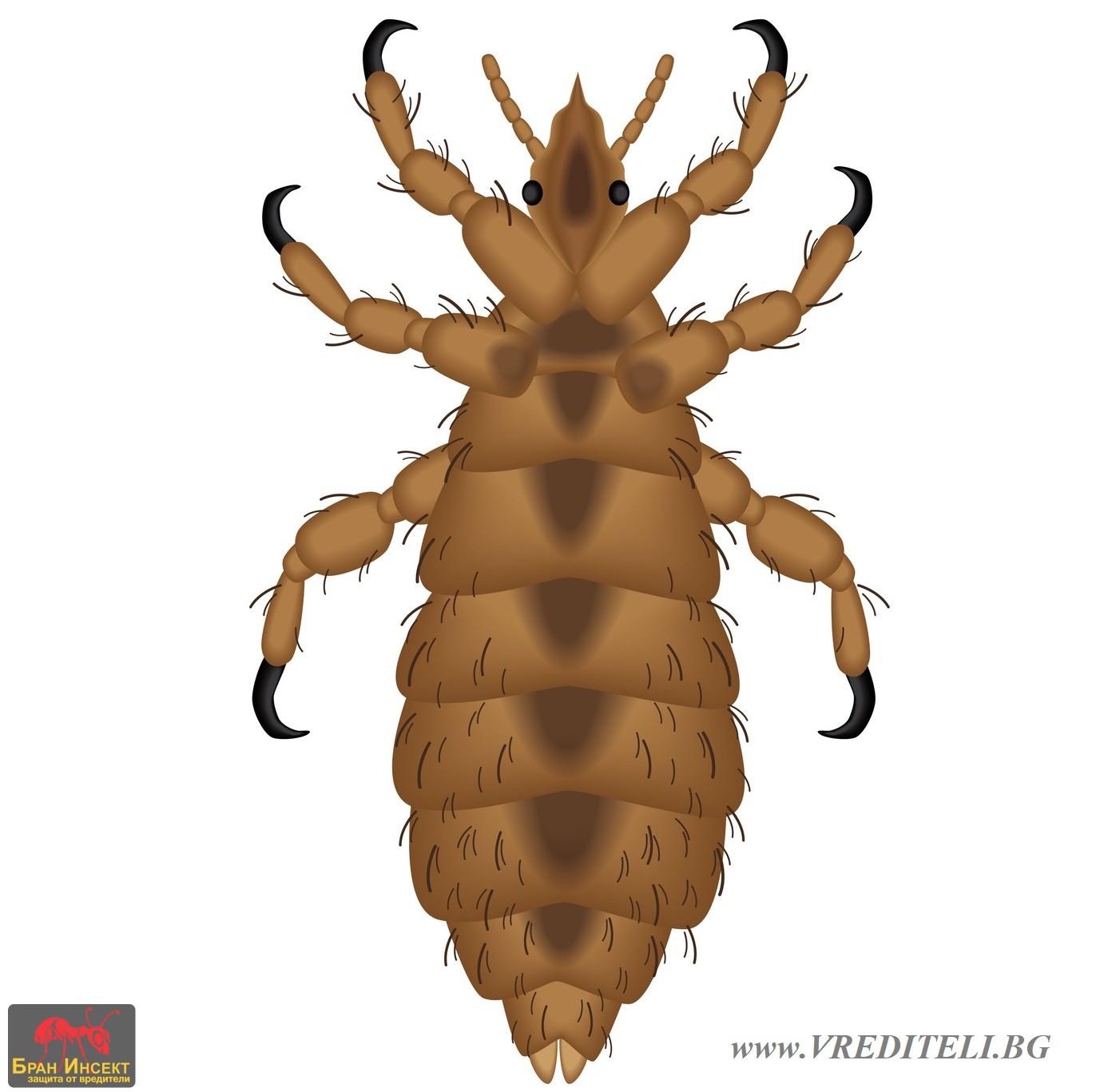 Аргасов кърлеж (акар) Argasidae