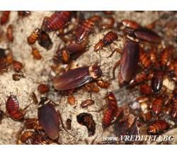 Хлебарки - болести и зарази пренасяни от тях.