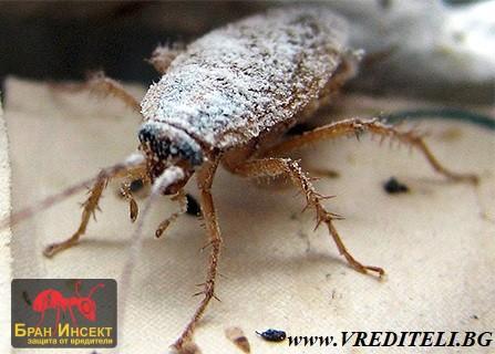 Помага ли борната киселина срещу хлебарките