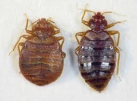 Bedbugs - destruction, protection and combat