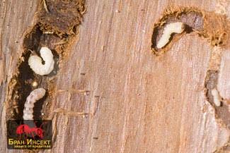 Дървояди - дупки в дървесината
