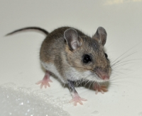 Mice eradication and control