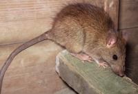 Вредите и опасностите които причиняват гризачите: плъхове и мишки