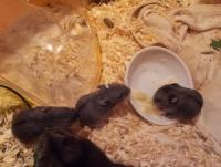 Разлика между мишка и плъх