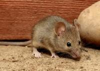 Различия и отличителни белези при плъх и мишка