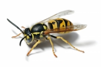 Wasps- destruction, protection and combat