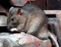 Rats destruction
