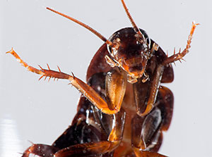 Вечната битка между човека и хлебарката