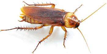 Ефикасно средство против хлебарки