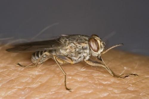 Мухата цеце - какви опасности крие ухапването ѝ?