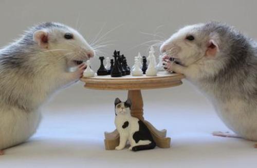 Войната с плъхове и мишки – продължителна и невинаги успешна