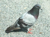 Picture of pigeon