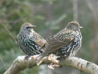 Picture of starling