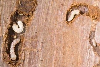 Унищожаване на дървояди