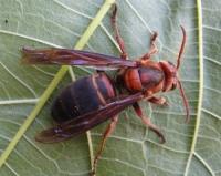 Огромните опасности които крият жилещите насекоми: оси и стършели
