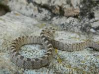 Котешка змия (Telescopus fallax)