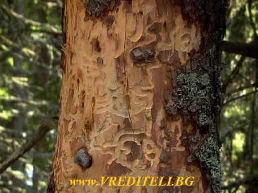 Корояд нападнал кората на дърво