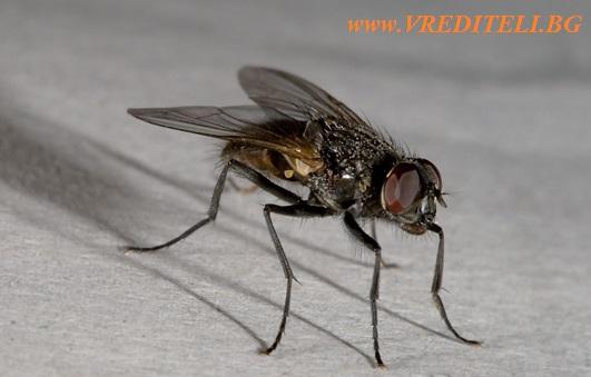 Домашни мухи - как да ги убием и премахнем от дома