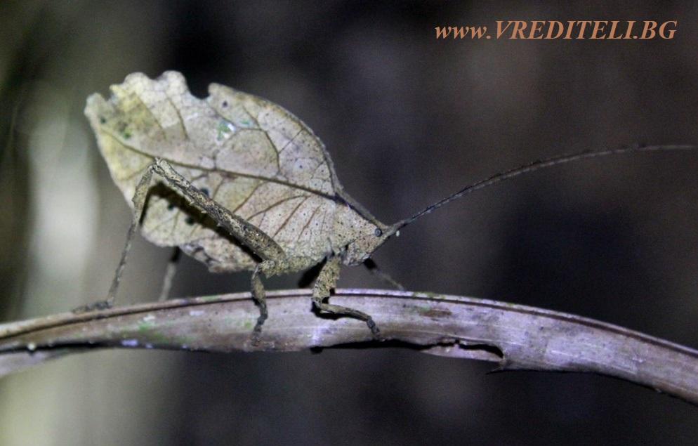 Мимикрия при насекомите (щурец)