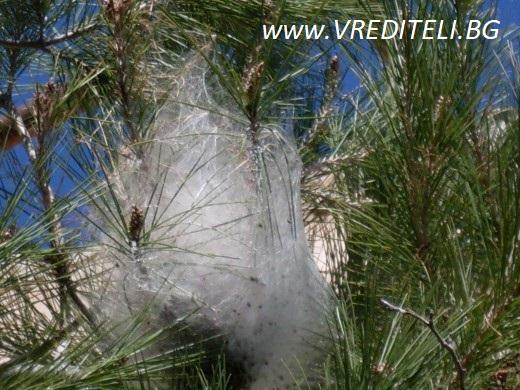 Гъсеници обвити в пашкул от паяжина са нападнали иглолистни дървета
