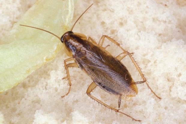 Хлебарки - унищожаване и борба с тях