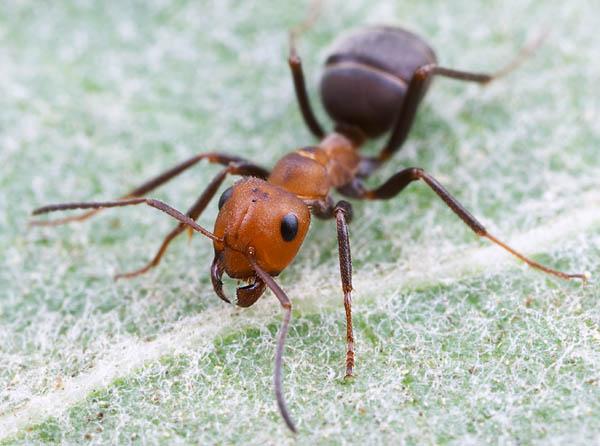 Мравка - защита от мравки
