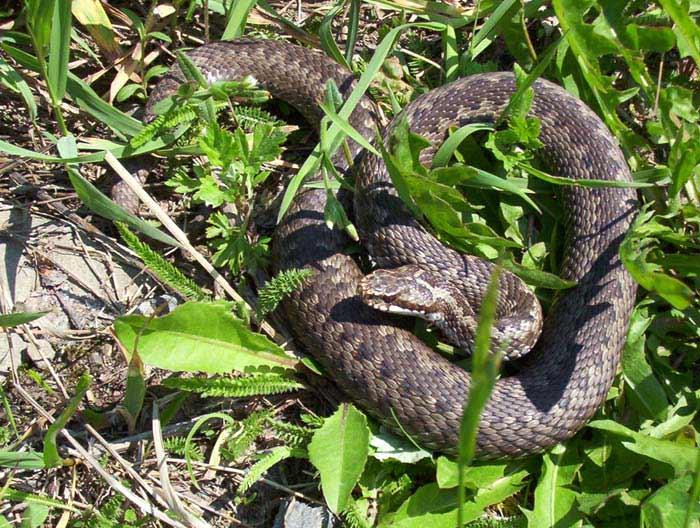 Прогонване на змии
